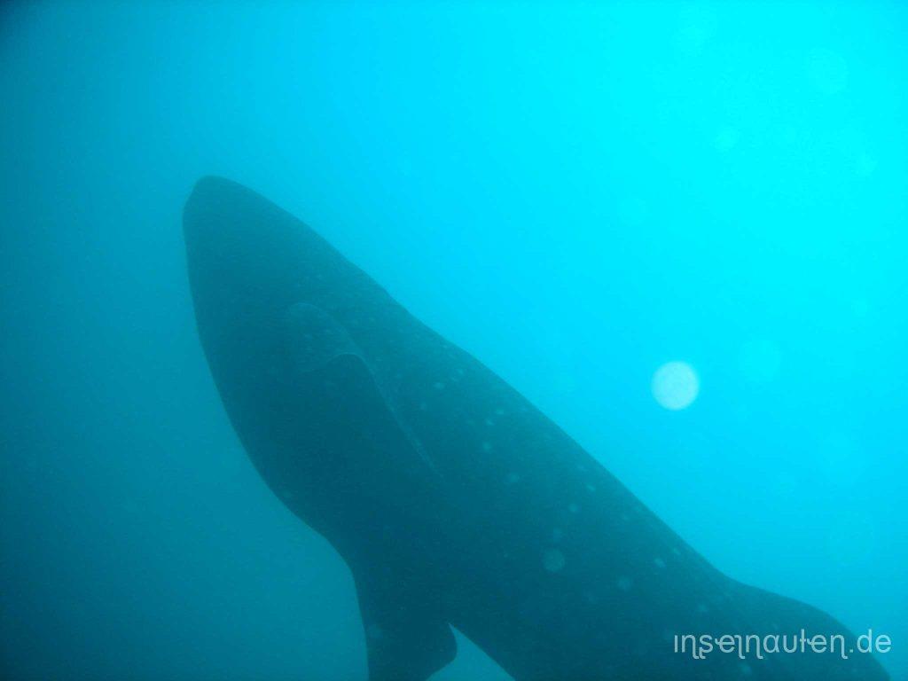 Beste-Zeit-für-Walhai-Malediven