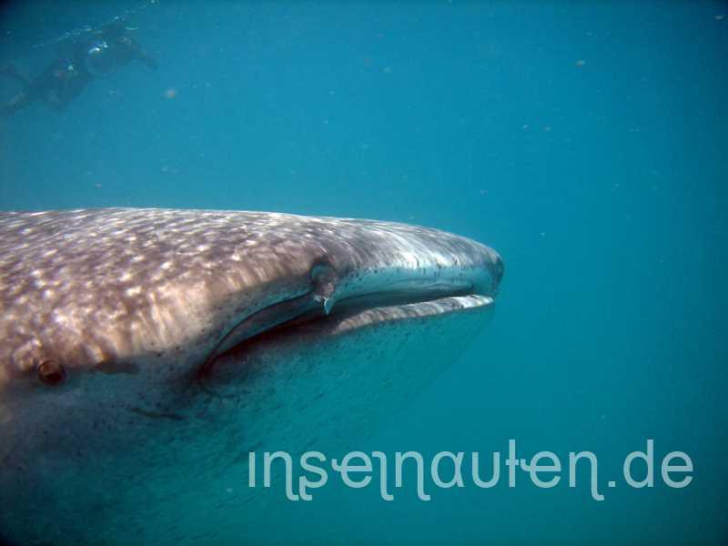 sind-walhaie-auf-den-malediven-gefährlich