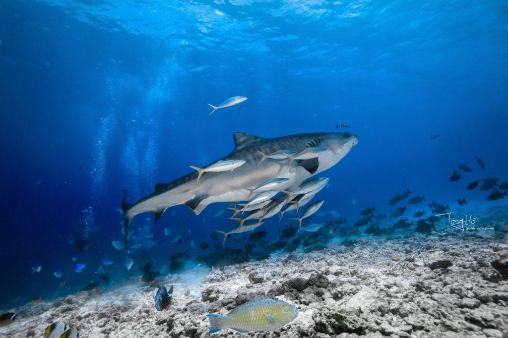 Tigerhaie auf Fuvahmulah