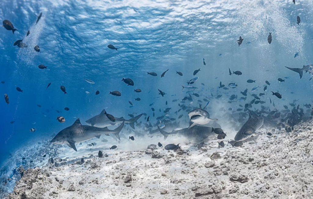 Tigerhaie Malediven