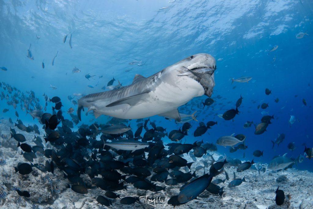 Tigerhai-Tauchen auf Fuvahmulah