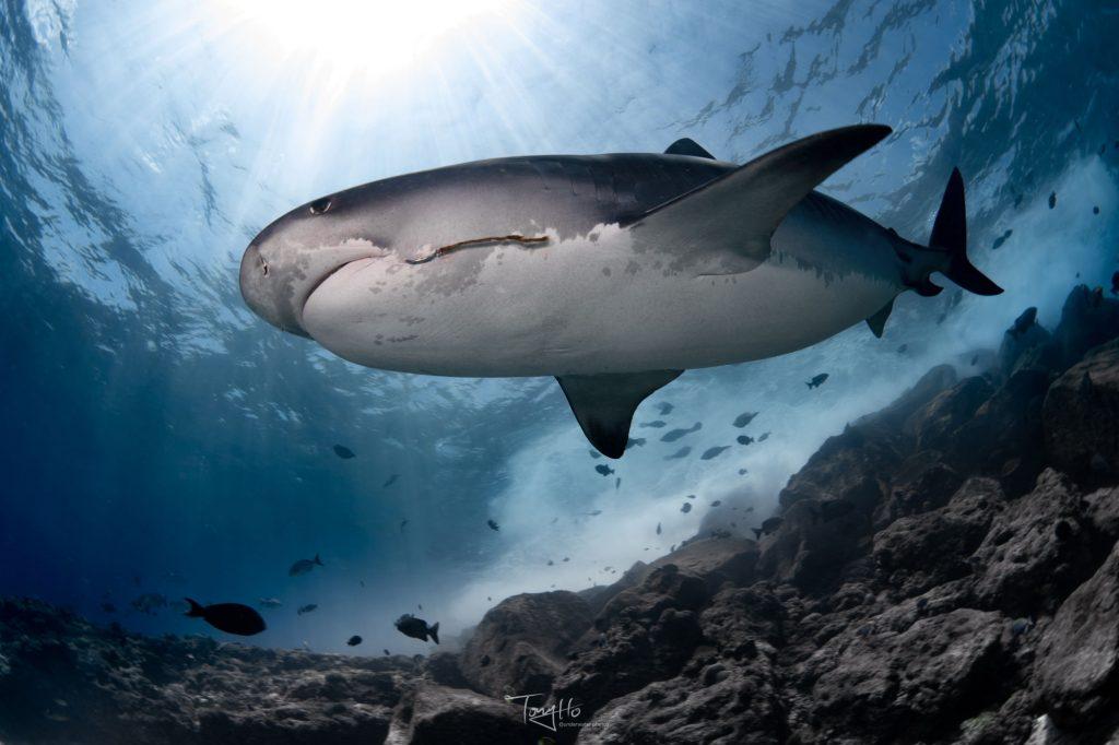 Tauchen mit Tigerhaien um Fuvahmulah