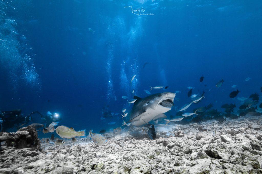 Tigerhai auf Fuvahmulah Malediven